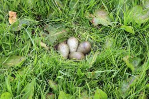 4 eggs in curlew nest