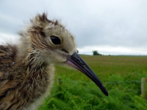 curlew chick close up