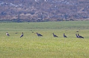 group of curlew