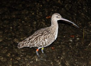 colour ringed curlew