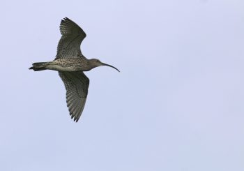 Report a Curlew