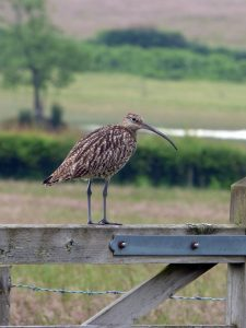 curlew on gate