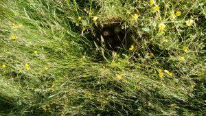 hidden curlew nest