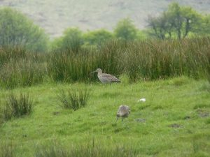 Satellite tagged curlew in Bowland