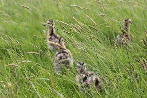 curlew chicks in long grass
