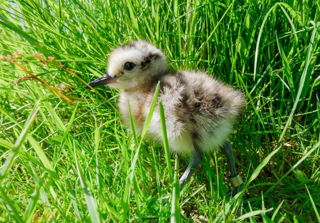 Curlew Chick, Ben Osborne