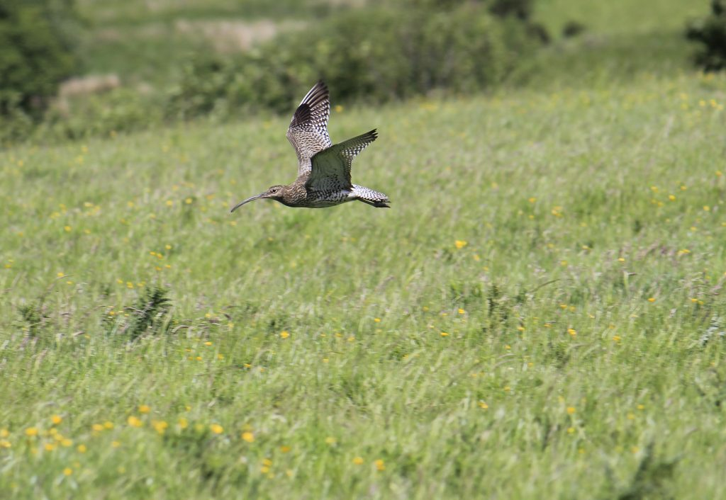 Adult curlew in flight
