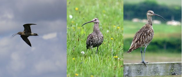 adult curlew