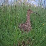 adult curlew on nest