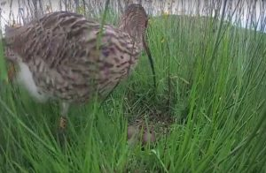 curlew with ring