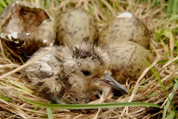 newly hatched curlew chick