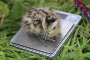 curlew chick being weighed