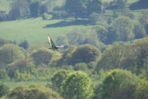 curlew flight