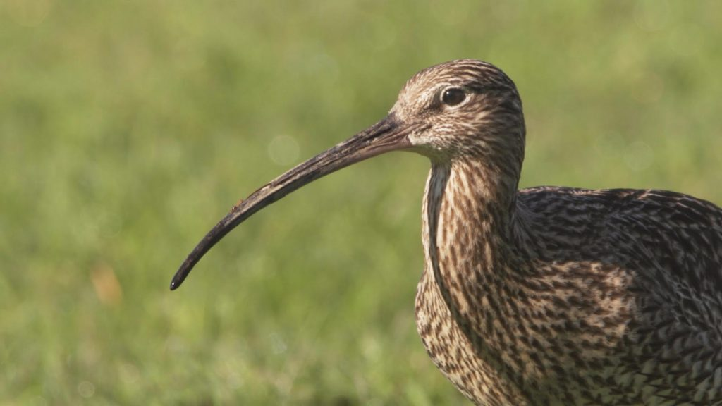 Adult Curlew by Billy Clapham