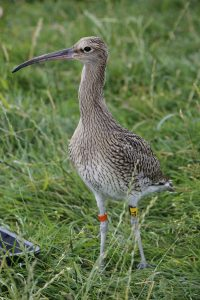 curlew with colour rings