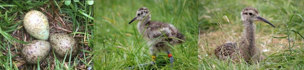 support our Curlew conservation work