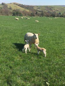 Spring Farming ¦ Lambing ¦ British Farming ¦ Environmental farming