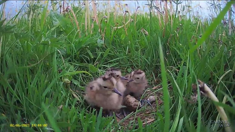 Curlew Country ¦ Curlew Cam ¦ Live nest camera ¦ wader chicks